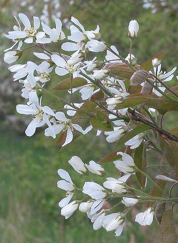 bloei van een krentenboom goed voor bijen