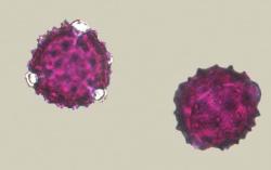 Pollen van een akkerdistel