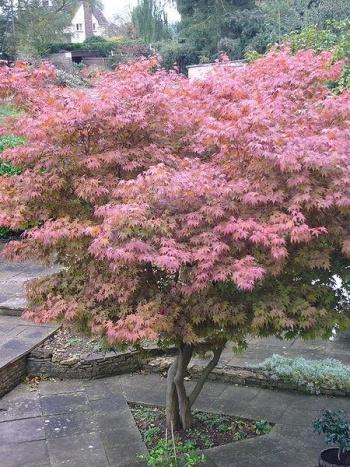 Japanse esdoorn met mooie herfstkleuren